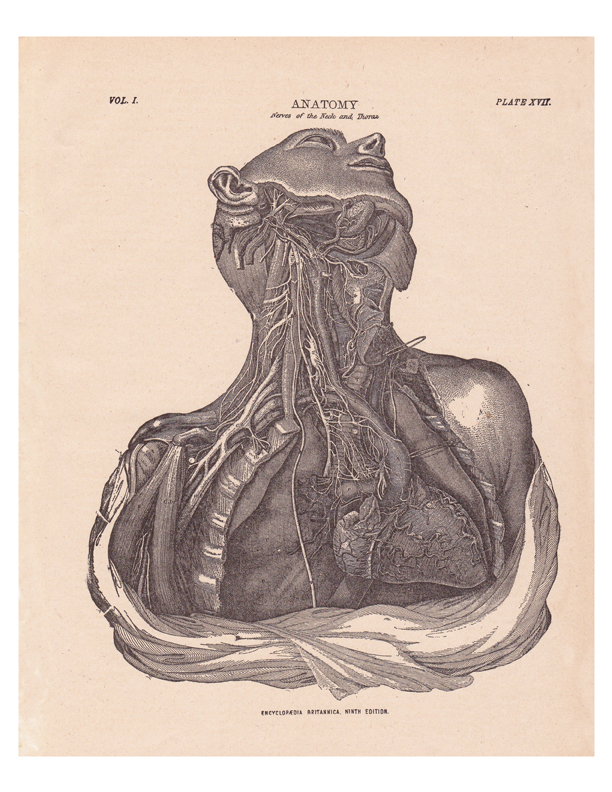 Old Anatomy Illustrations Redbudart