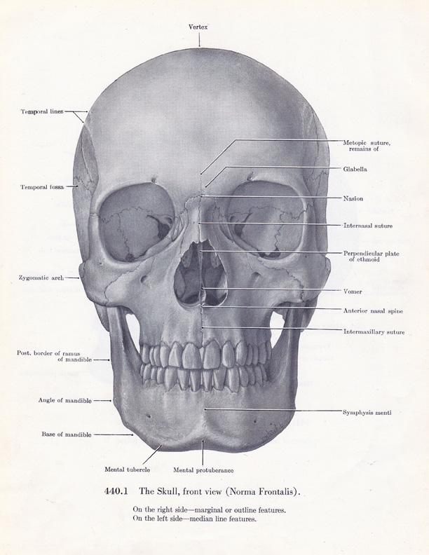 Skull And Bones Medical Illustrations