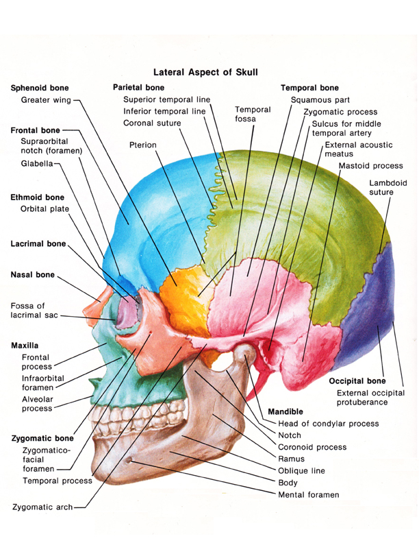 medical illustration of a skull