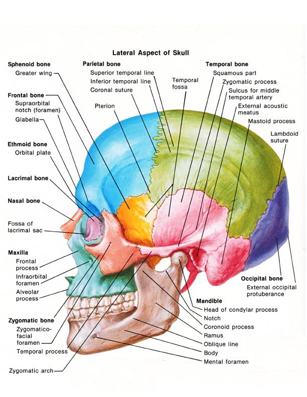 medical illustration of a skull