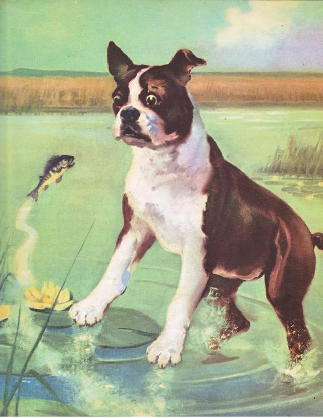 Wesley Dennis Boston Terrier Illustration