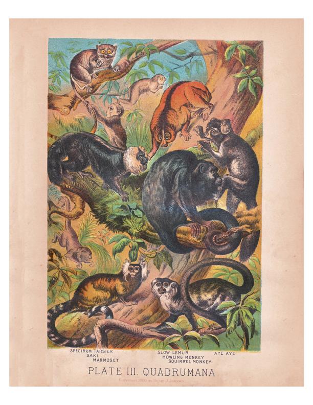 Monkeys color lithograph by Henry J Johnson