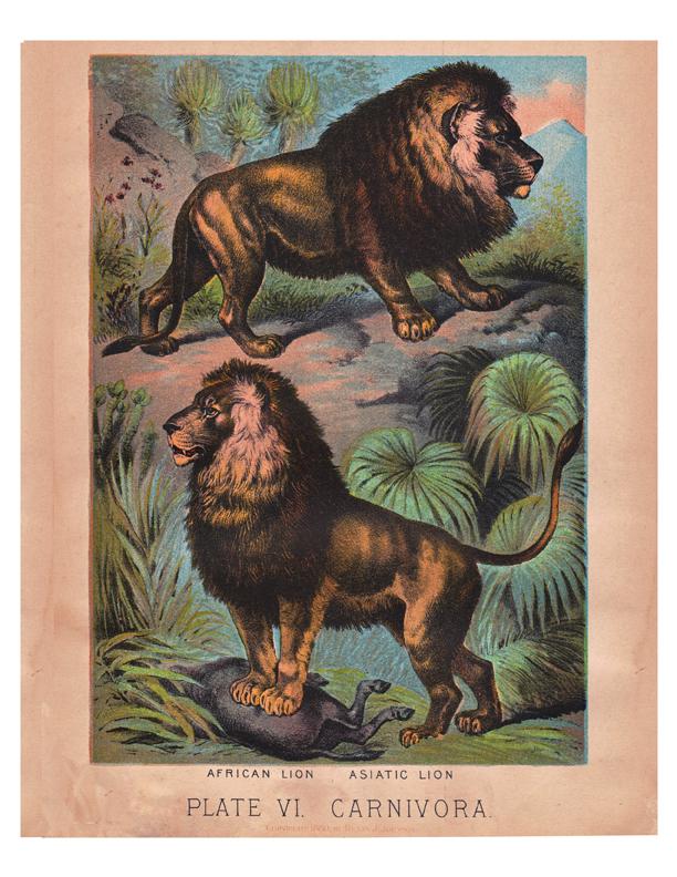 antique color lithograph of lions