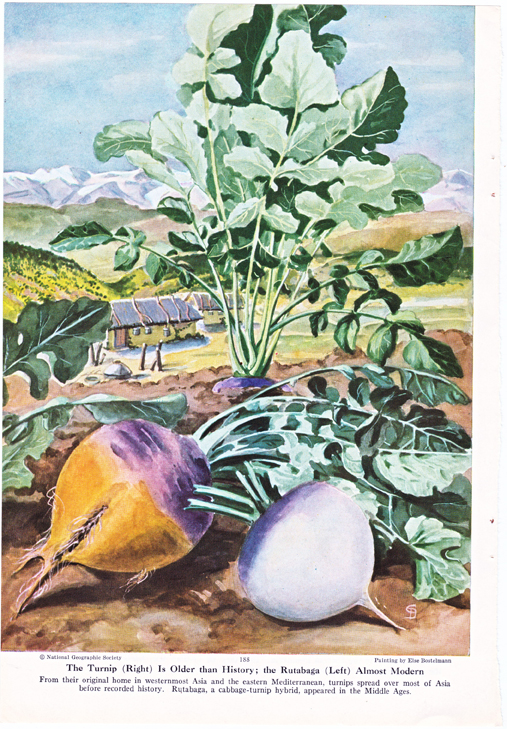 turnips and rutabagas