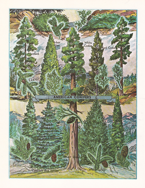 American Conifers illustration by R.H. Winkler