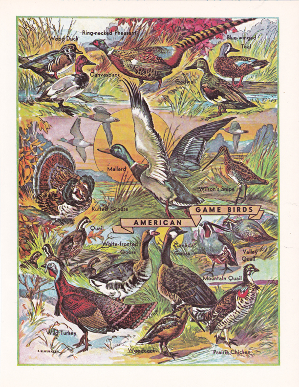 American Game Birds illustration by R.H. Winkler