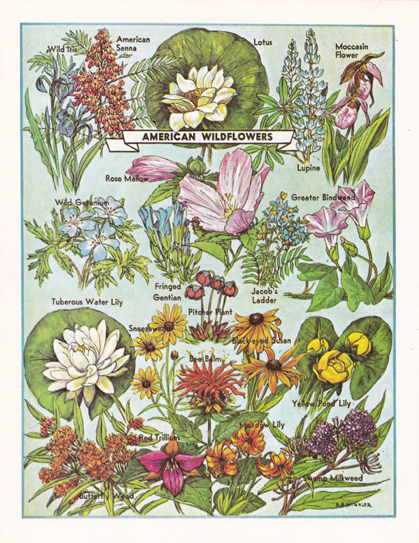 American Wildflowers illustration by R.H. Winkler