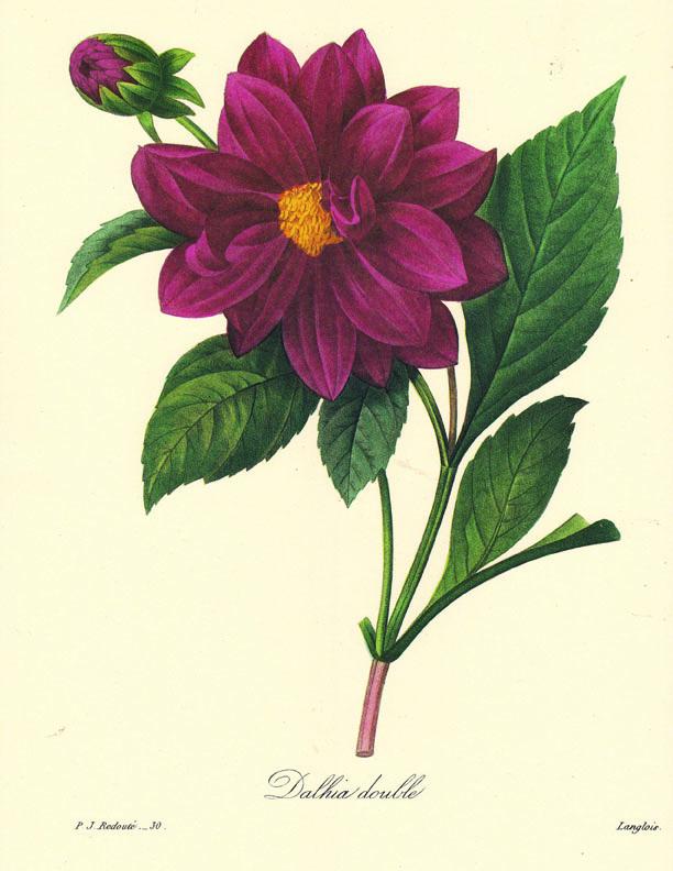 Pierre-Joseph Redoute Botanical Print