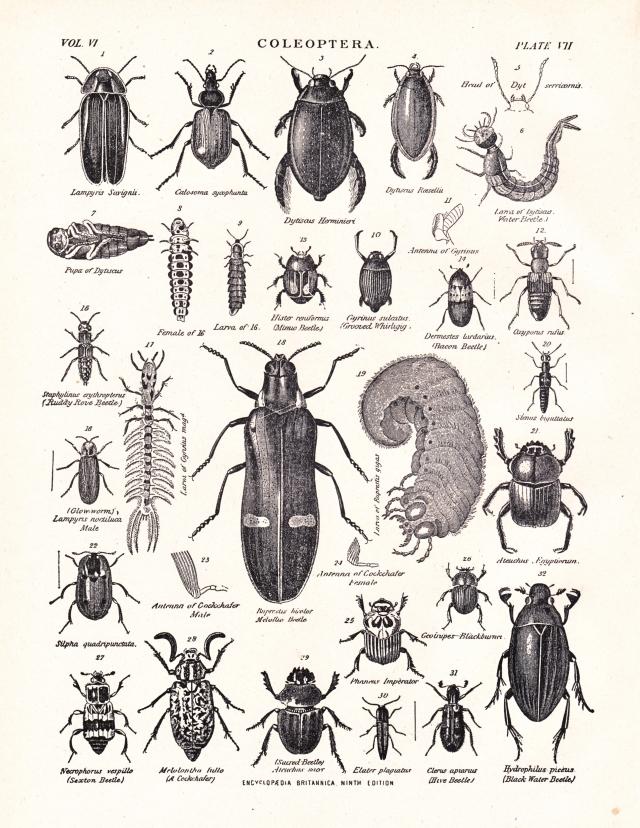 1105_cleoptera1