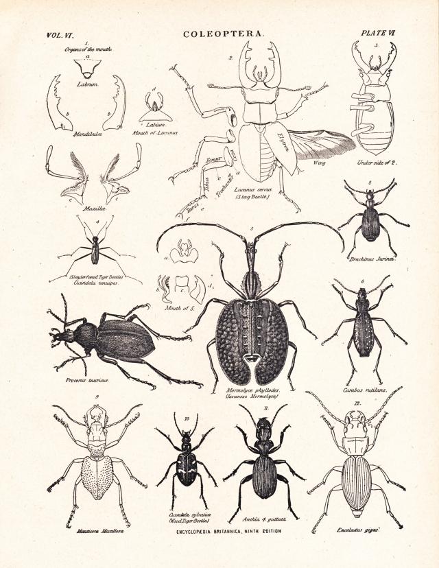 1106_coleoptera2